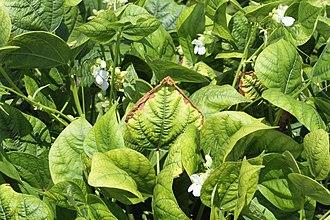 Potassium deficiency (plants) - Image: K deficient dry bean 2 2012 02 16 Cedara 037