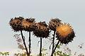 Kardoen (Cynara cardunculus), Locatie De Kruidhof 04.JPG