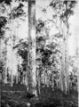 Karri in Primer of Forestry Poole 1922.png