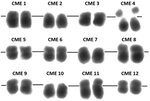 Karyotype of melon (Cucumis melo L.).png