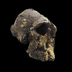 Kenyanthropus platyops-MGL 95210