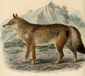 Keulemans common wolf.png