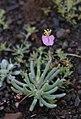 Kewa salsoloides 19642044.jpg