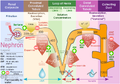 Kidney nephron molar transport diagram.png