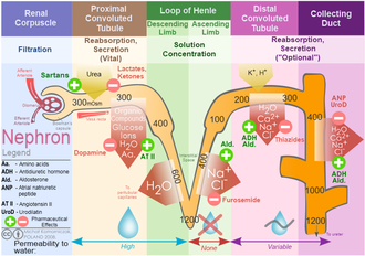 Descending limb of loop of Henle - Nephron ion flow diagram