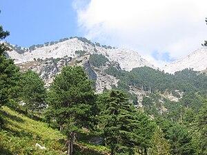 Taygetus - Pinus nigra, Thasos.