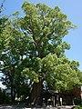 Kihara Hie Shrine Cinnamomum camphora.jpg