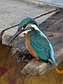 Kingfisher 008.jpg