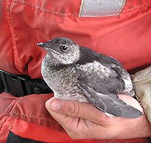 Kittlitzs murrelet.jpg
