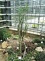 Kleinia neriifolia - Botanischer Garten Freiburg - DSC06325.jpg