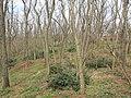 Korina 2013-03-18 Mahonia aquifolium 11.jpg