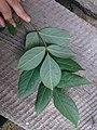 Korina 2015-09-01 Staphylea pinnata 6.jpg