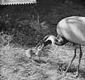 Kraanvogel met jong in Artis, Bestanddeelnr 912-6231.jpg