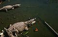 Krokodilfarm in Boca de Guamá Kuba 1972 PD 4.jpg