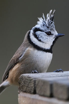 Kuifmees (Crested Tit) (5208510185) (2).jpg