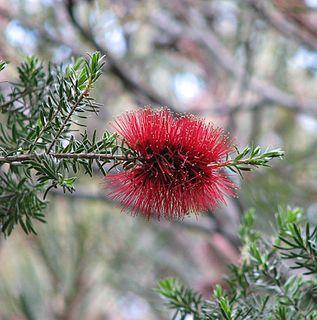 <i>Kunzea baxteri</i> species of plant