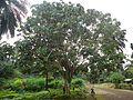 L'arbre à palabre à Mboué.jpg