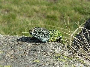 Iberian emerald lizard - Image: Lacerta schreiberi