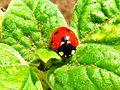 Ladybug on vegetable - panoramio.jpg