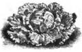Laitue Batavia frisée allemande Vilmorin-Andrieux 1883.png