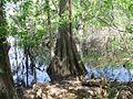 Lake Iamonia gallery003 cypress.jpg