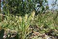 Lamarckia aurea plant4 (7182889469).jpg
