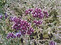 Lamiales - Verbena bonariensis - 7.jpg