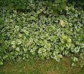 Lamium galeobdolon (argentatum) 03 ies.jpg