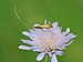 Langhornmotten Adelidae, Nemophora metallica.JPG