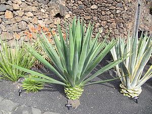 Agave fourcroydes - Image: Lanzarote Agave fourcroydes
