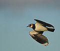 Lapwing fly-by (11606077454).jpg
