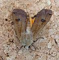 Large Yellow Underwing. Noctua pronuba. male - Flickr - gailhampshire.jpg