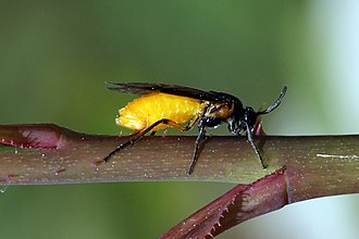 Hymenoptera - Symphyta, without a waist: the sawfly Arge pagana