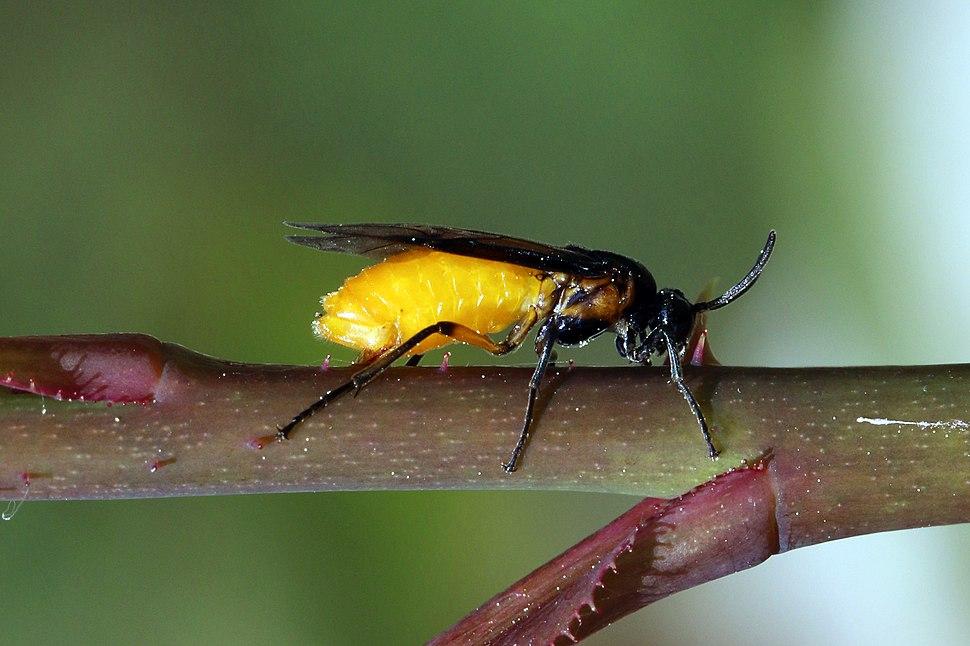 Large rose sawfly (Arge pagana stephensii)