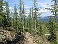 Larix lyallii MountFrosty1.jpg