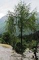 Larix potaninii, Huanglong 3.jpg