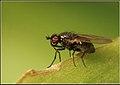 Lauxaniidae00.jpg