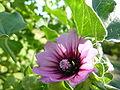 Lavatera arborea 'Tree Mallow' (Malvaceae) flower.JPG