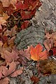 Leaf and Fungus (2919818577).jpg