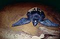 Leatherback Sea Turtle (Dermochelys coriacea) (10630072085).jpg