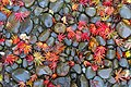 Leaves on rocks - Oregon Garden - Silverton, Oregon - DSC00184.jpg