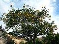 Lemon tree - Syracuse (Italy).jpg