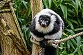 Lemur (25515233507).jpg