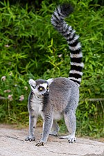 ring-tailed lemur standing with tail raised in the air