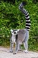 Lemur (36254433134).jpg