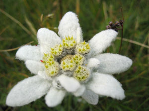 Edelweiss (song) - The Edelweiss white flower Leontopodium alpinum