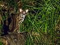 Leopard Cat (14840017319).jpg