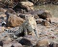 Leopard in Tadoba 01.jpg