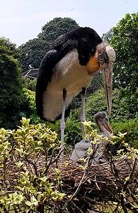 Bangau tongtong, Leptoptilos javanicusbersarang di taman burung TMII