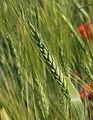 Les Plantes Cultivades. Cereals. Imatge 1785.jpg